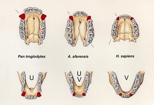 homo-sapiens-caracteristicas-mandibula