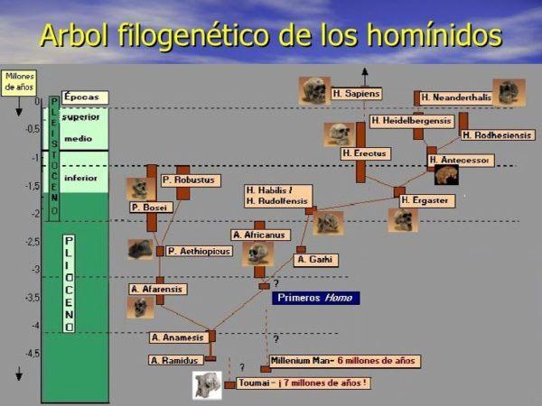 homo-neardenthalensis-arbol-hominidos