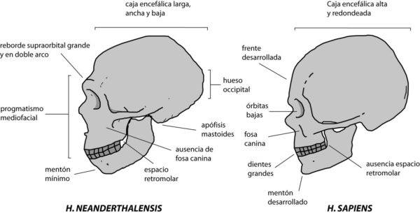 homo-neardenthalensis-caracteristicas-cráneo