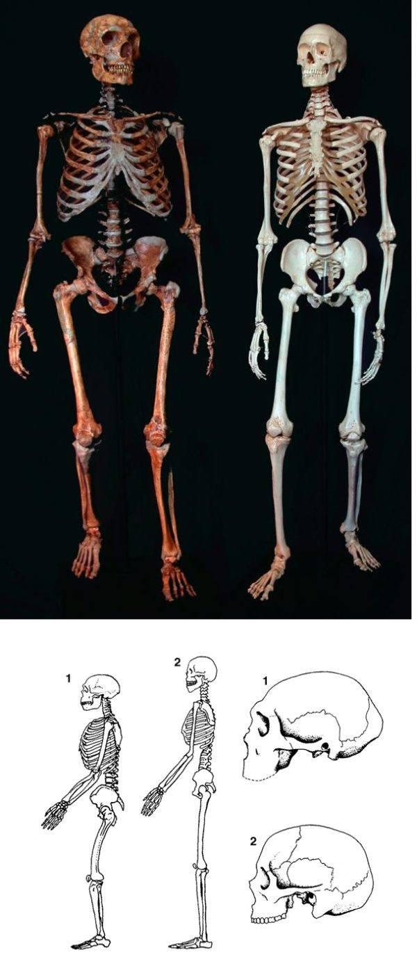 Comparación esqueleto hombre actual y esqueleto hombre Neadenthal