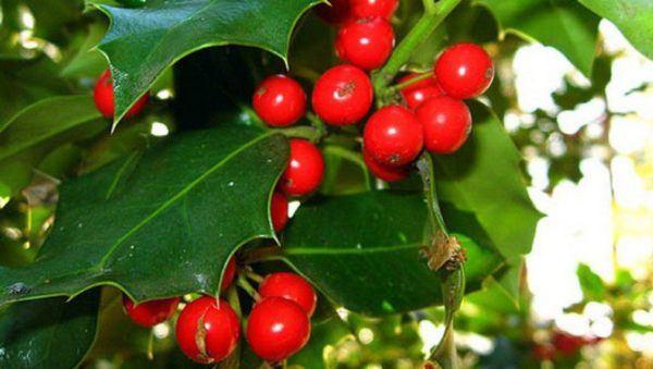 muerdago-navidad-origen-frutos-rojos
