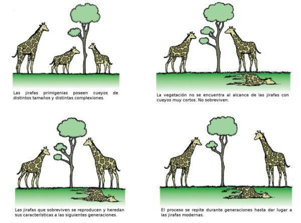 Evolucion de las jirafas